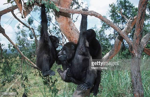 Western Lowland Gorillas. Gorilla gorilla gorilla. Playing in tree. Orphaned gorillas reintroduced into the wild. Endangered species. Projet Protection des Gorilles, Gabon/Congo West-Central Africa: Nigeria to DRC