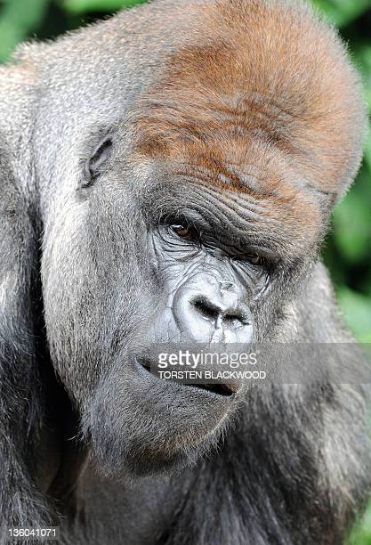 Western lowland silverback gorilla 'Kibabu' leads the search for Christmas treats at Taronga Zoo in Sydney on December 21 2011 Various animals were...