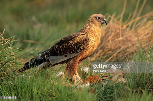 Western Marsh Harrier (Circus aeruginosus), male with prey, Hortobagy, Hajd??-Bihar, Hungary, Europe