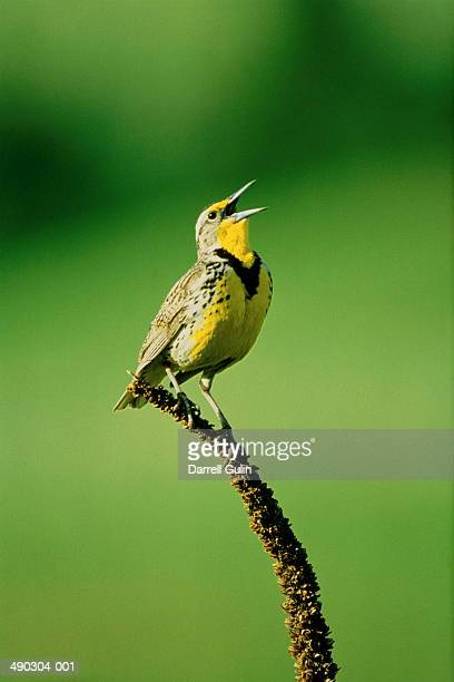 Western meadowlark (Sturnella neglecta) perched on branch, USA