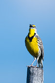 A close-up shot of a Western Meadowlark sitting on a fence post on the prairies. This photo was taken in spring in rural Saskatchewan.