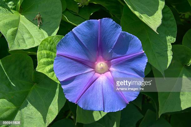 Western morning glory(Heavenly Blue)
