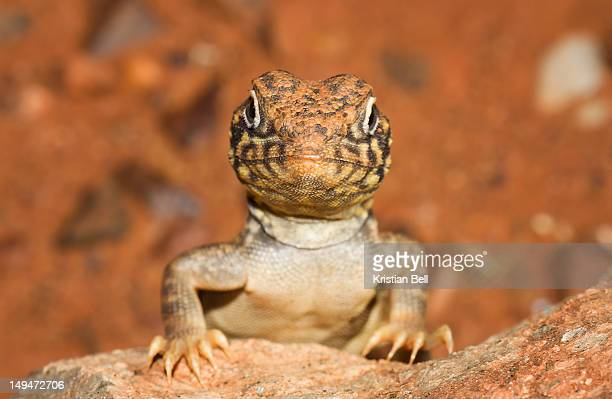 Western Netted Dragon