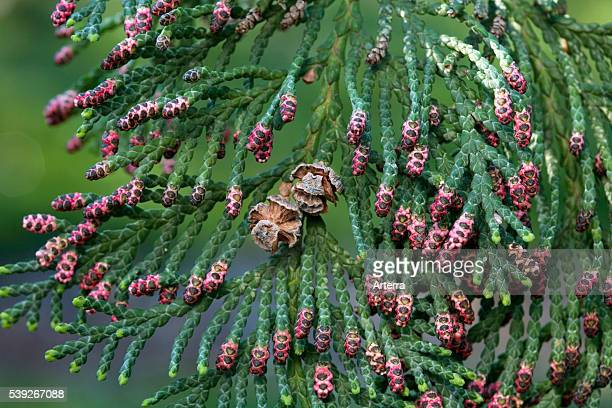Western red cedar / shinglewood native to North America close up of branches with cones