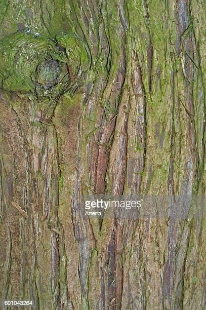 Western redcedar / Pacific redcedar / giant arborvitae / western arborvitae / giant cedar / shinglewood close up of tree bark