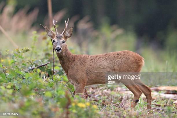 Western Roe Deer Male European Roe Deer Called Yearling Male Deer Picture Taken In Picardy FranceCapreolus Capreolus Western Roe Deer Cervid Ruminant...