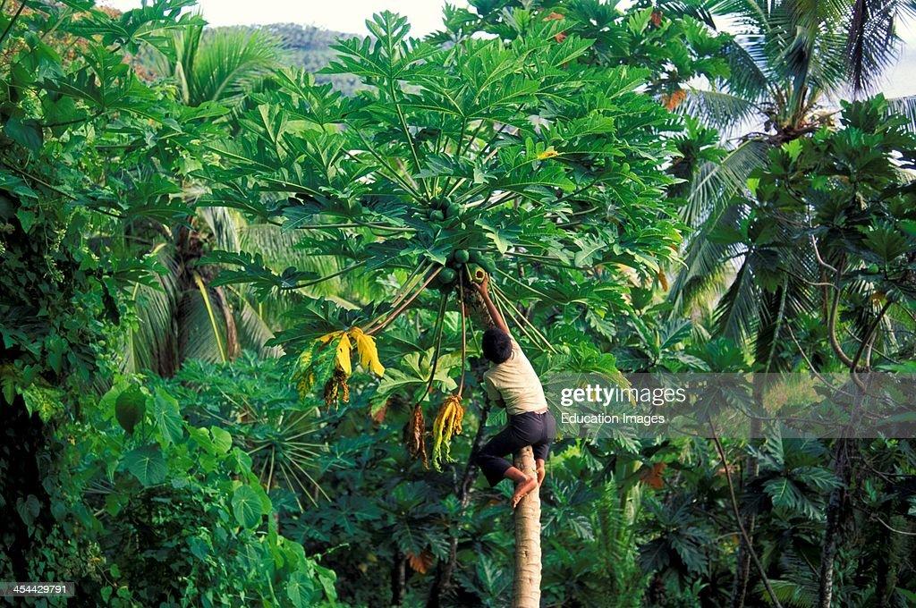 Western Samoa Island Of Upolu Village Of Uofato Remote Village On East CoaSt Boy Picking Papayas From Tree