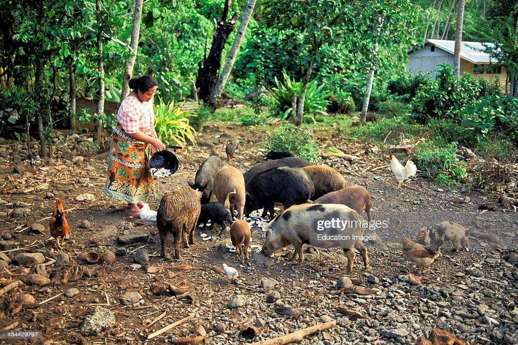 Western Samoa Island Of Upolu Village Of Uofato Remote Village On East CoaSt Woman Feeding Pigs