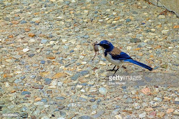 Western Scrub-Jay catches a mouse