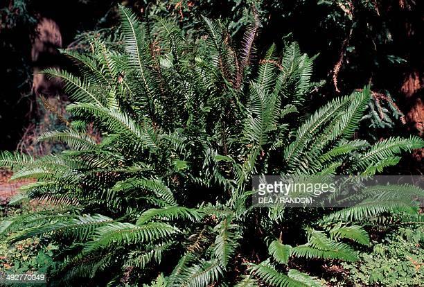 Western sword fern Dryopteridaceae