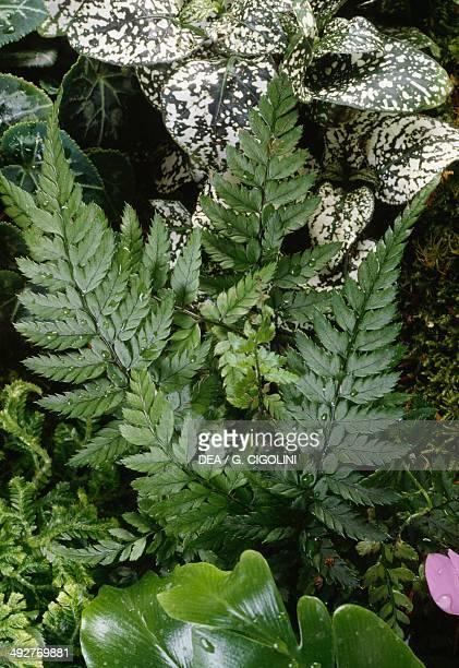 Western Swordfern Dryopteridaceae