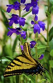 A western tiger swallowtail butterfly drinks nectar from a flower in the resort town of Telluride Colorado