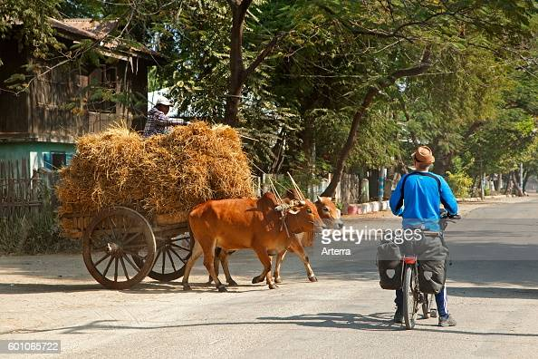 Western tourist riding touring bicycle waiting for wooden cart loaded with hay pulled by two zebus / Brahman oxen to cross the road in Myanmar /...