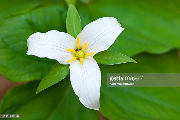 Western Wake Robin or Western White Trillium (Trillium ovatum)
