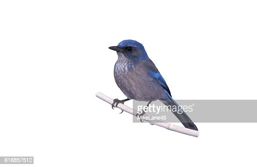 Western-scrub jay, Aphelocoma californica : Stock Photo