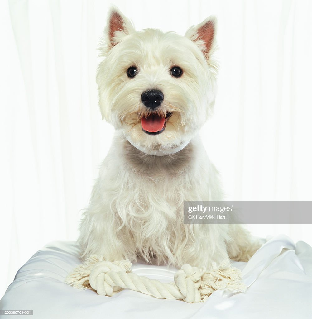 Westhighland terrier : Stock Photo