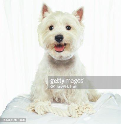 Westhighland terrier : Stock Photo