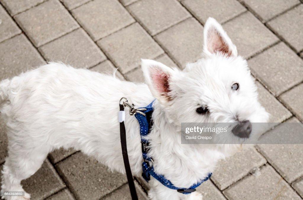 Westie dog : Foto de stock