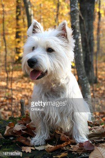 Westie dog sitting in a forest in autumn season