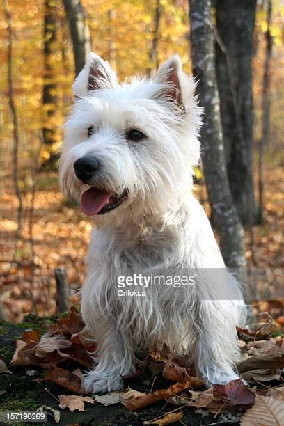 Westie chien assis dans une forêt en automne