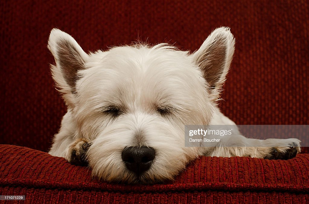Westie in repose : Stock Photo