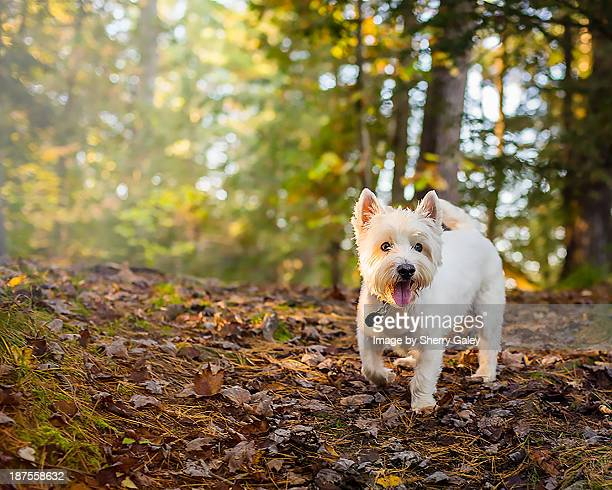 Westie in the woods