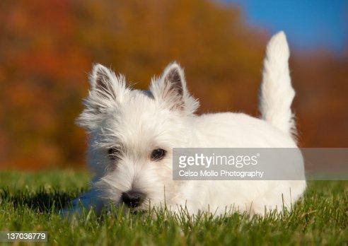 Westie puppy in fall