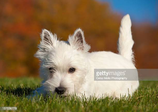 Westie puppy in fall