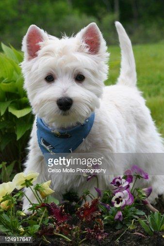 Westie puppy in garden
