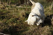 Westie dog rolling in excrement in countryside.