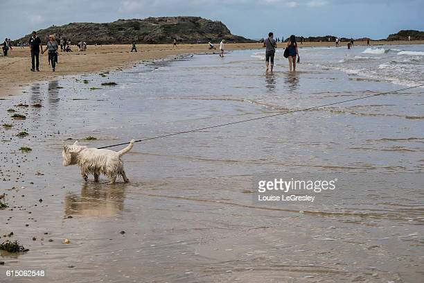 A Westie (West Highland White Terrier) walking on the beach in Saint-Malo, France