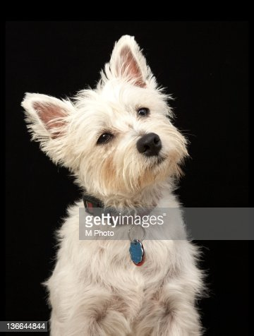 Westie (West Highland terrier) with collar. : Stock Photo