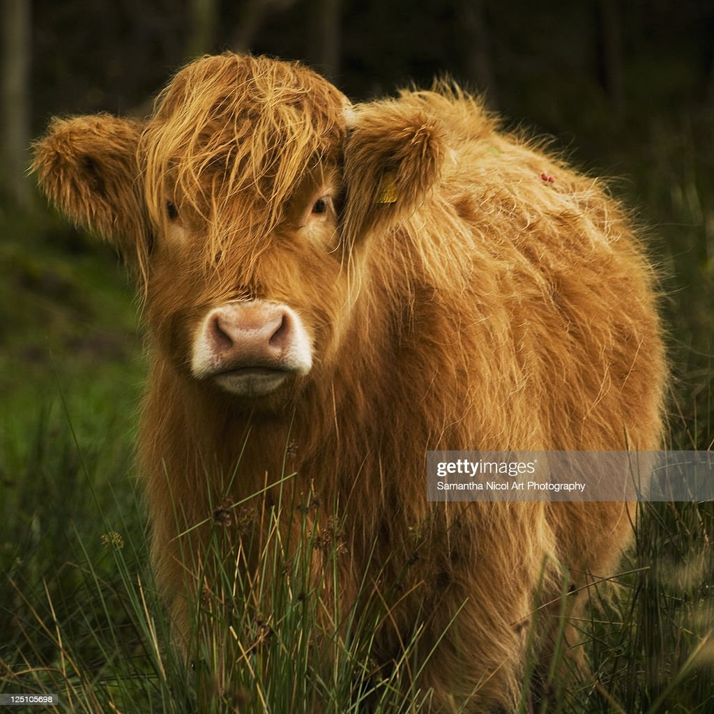 Wet and woolly cow : Stock Photo