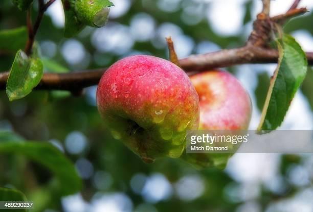 Wet apples on tree