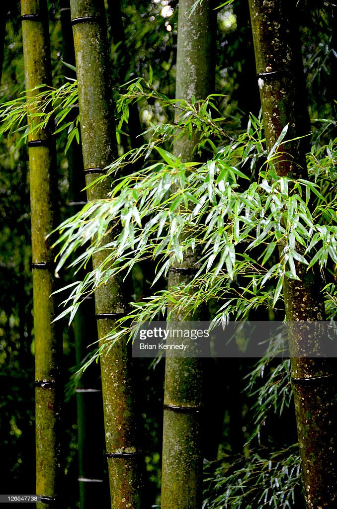 Wet Bamboo : Stock Photo