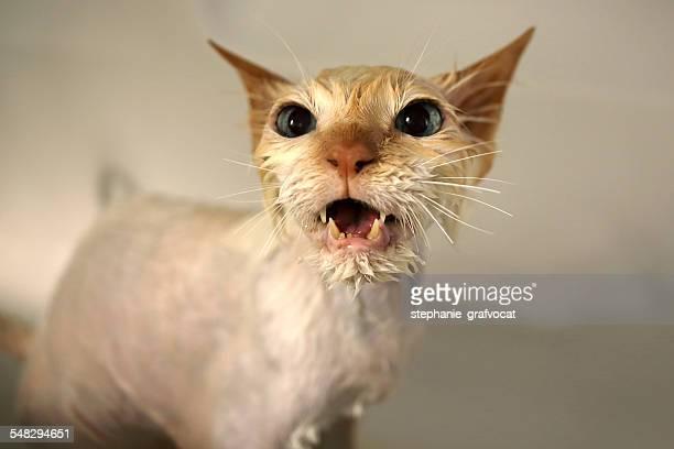 Wet Birman cat meowing