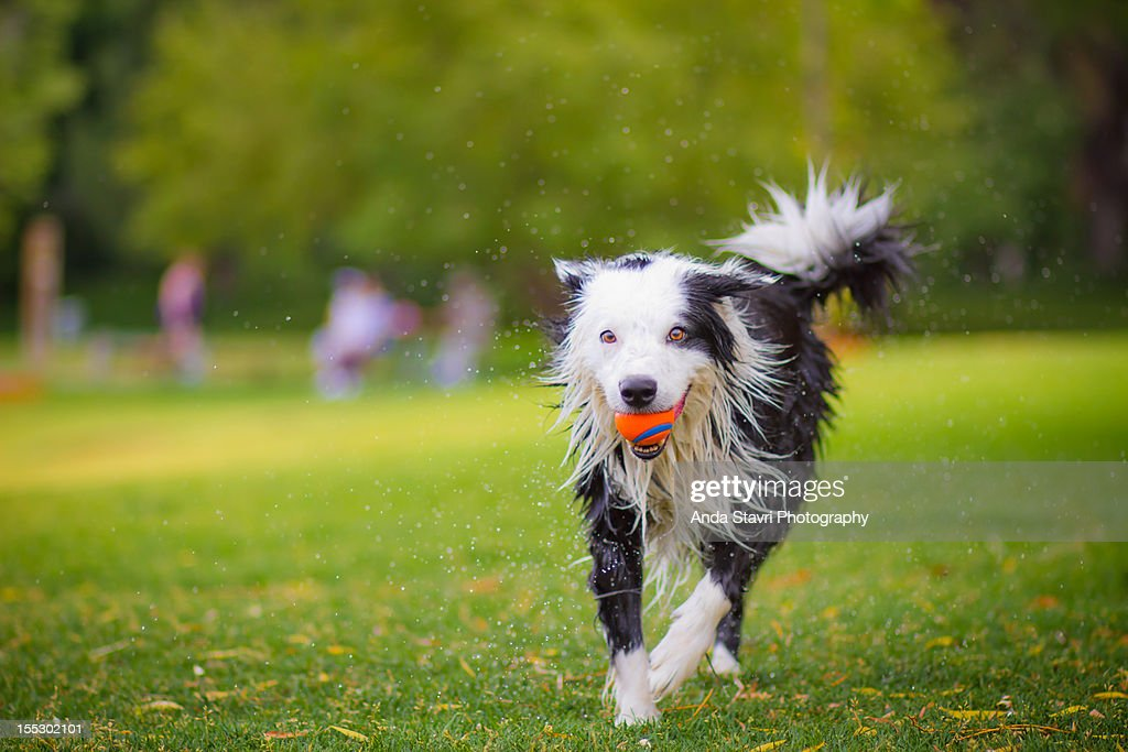 Wet Border Collie Running with Ball : Stock Photo