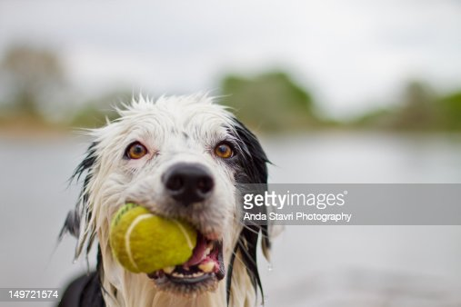 Wet border collie with tennis ball : Stock Photo