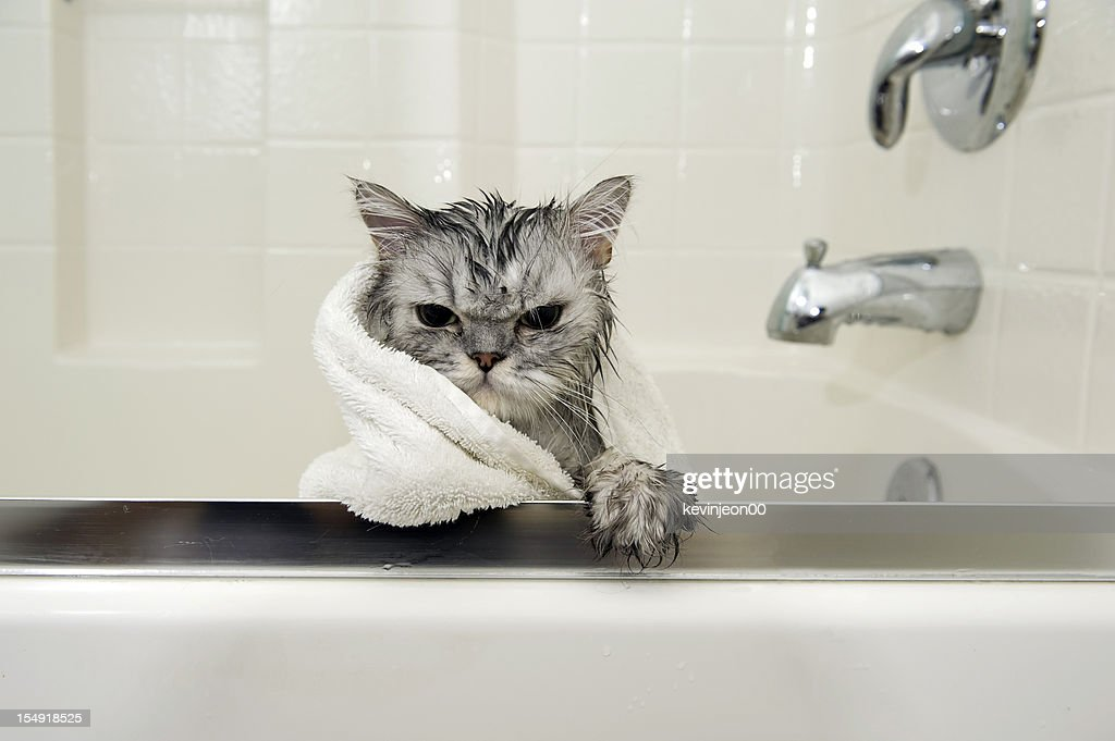A Persian cat getting a bath