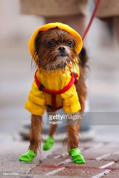 Wet Chihuahua