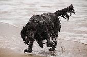 wet cocker spaniel dog at the Stone coast at baltic sea