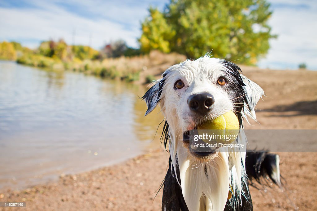 Wet dog holding Tennis ball : Stock Photo