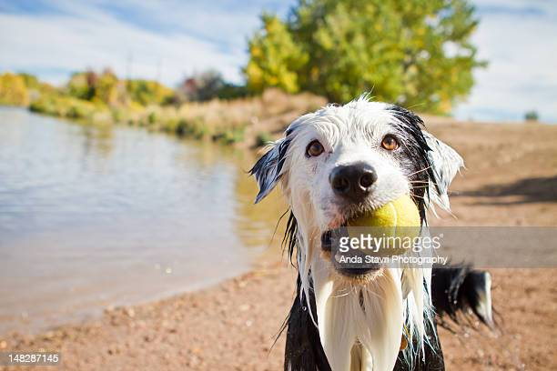 Wet dog holding Tennis ball
