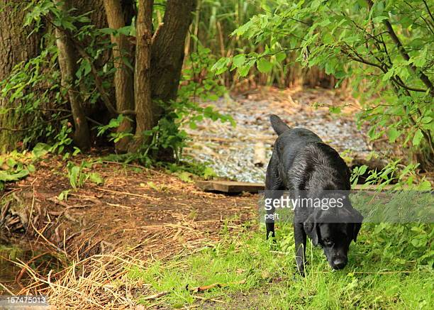 Wet dog searching forest floor
