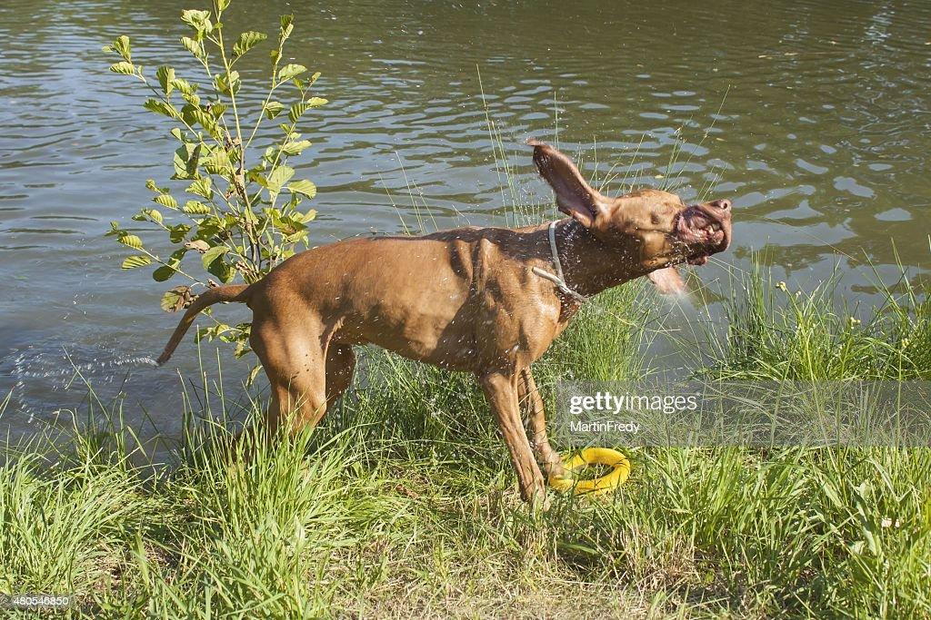 Wet dog 'Viszla' shaking water off. : Stock Photo
