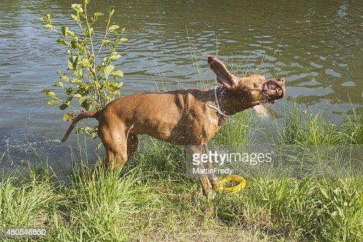 """Molhado cão Viszla """"agitação água. : Foto de stock"""