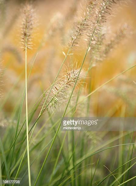 Wet Fountain Grass