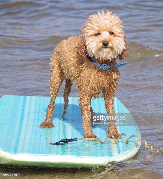 Wet Fox Terrier On Paddleboard