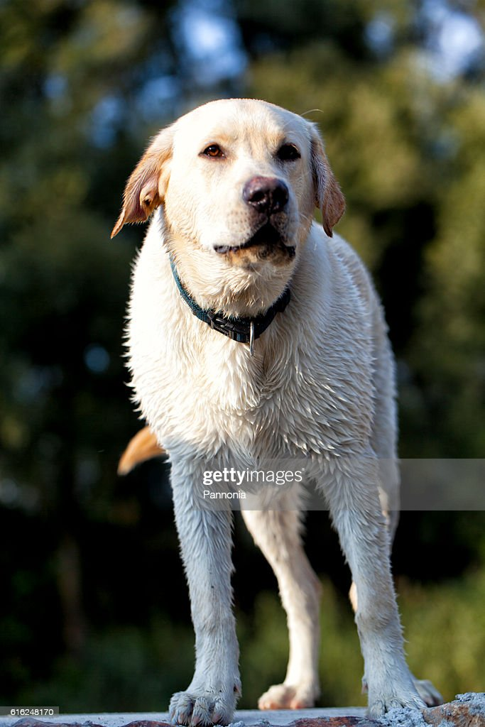 Wet Labrador Retriever : Stock Photo