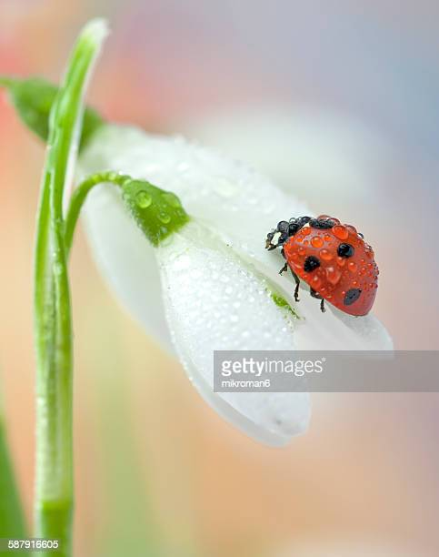 Wet ladybird on snowdrop
